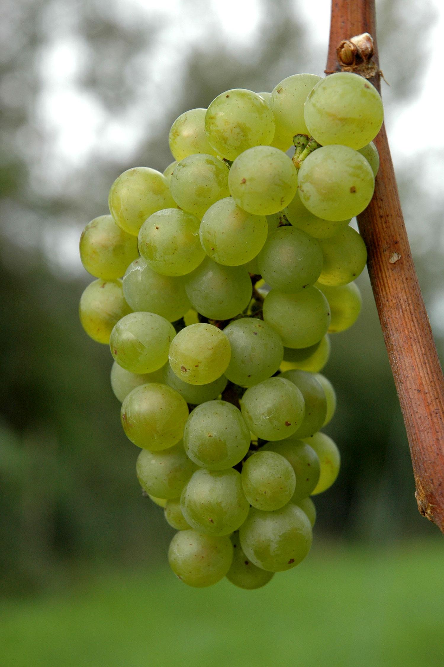 Grappolo di Pinot Bianco