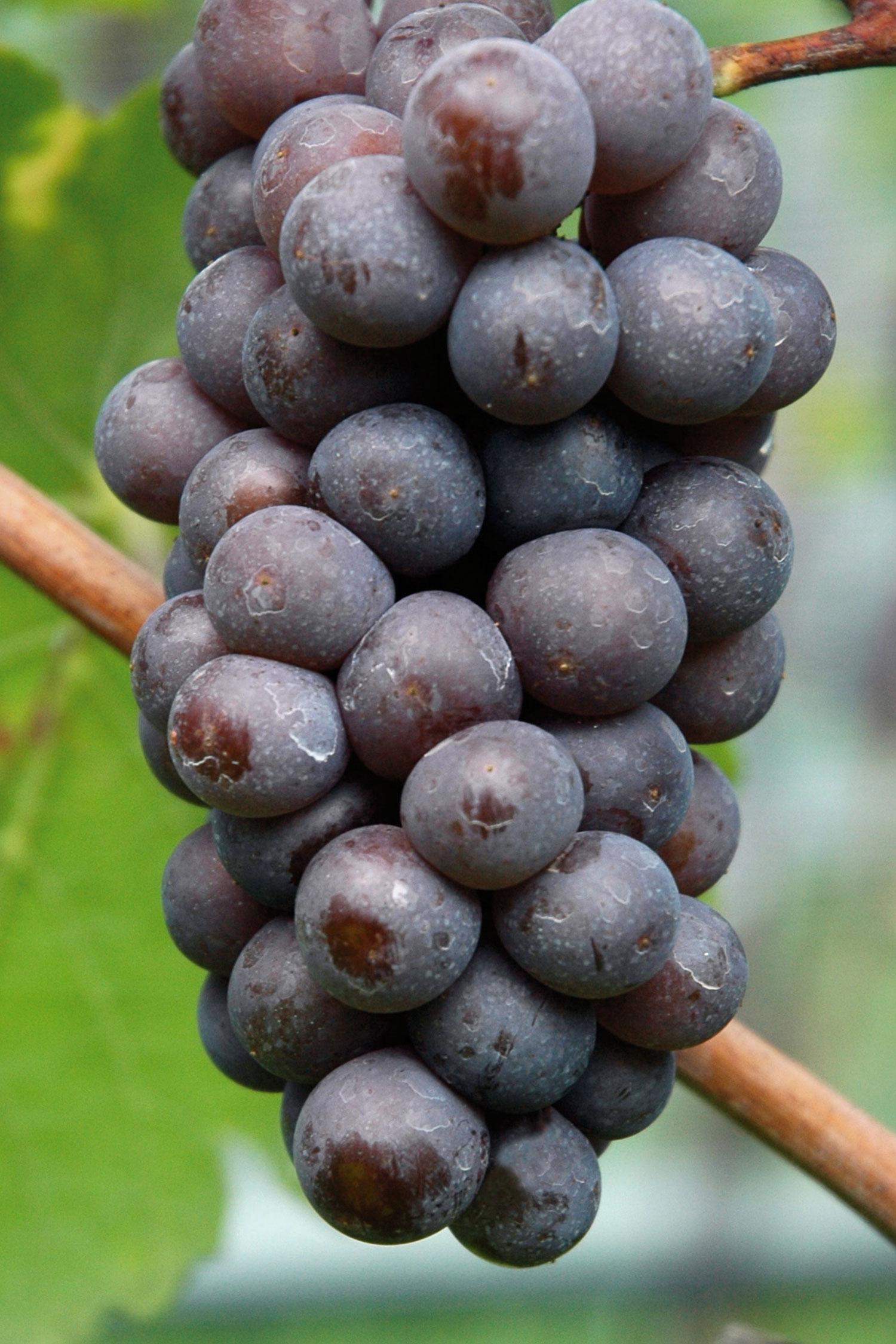 Grappolo di Pinot