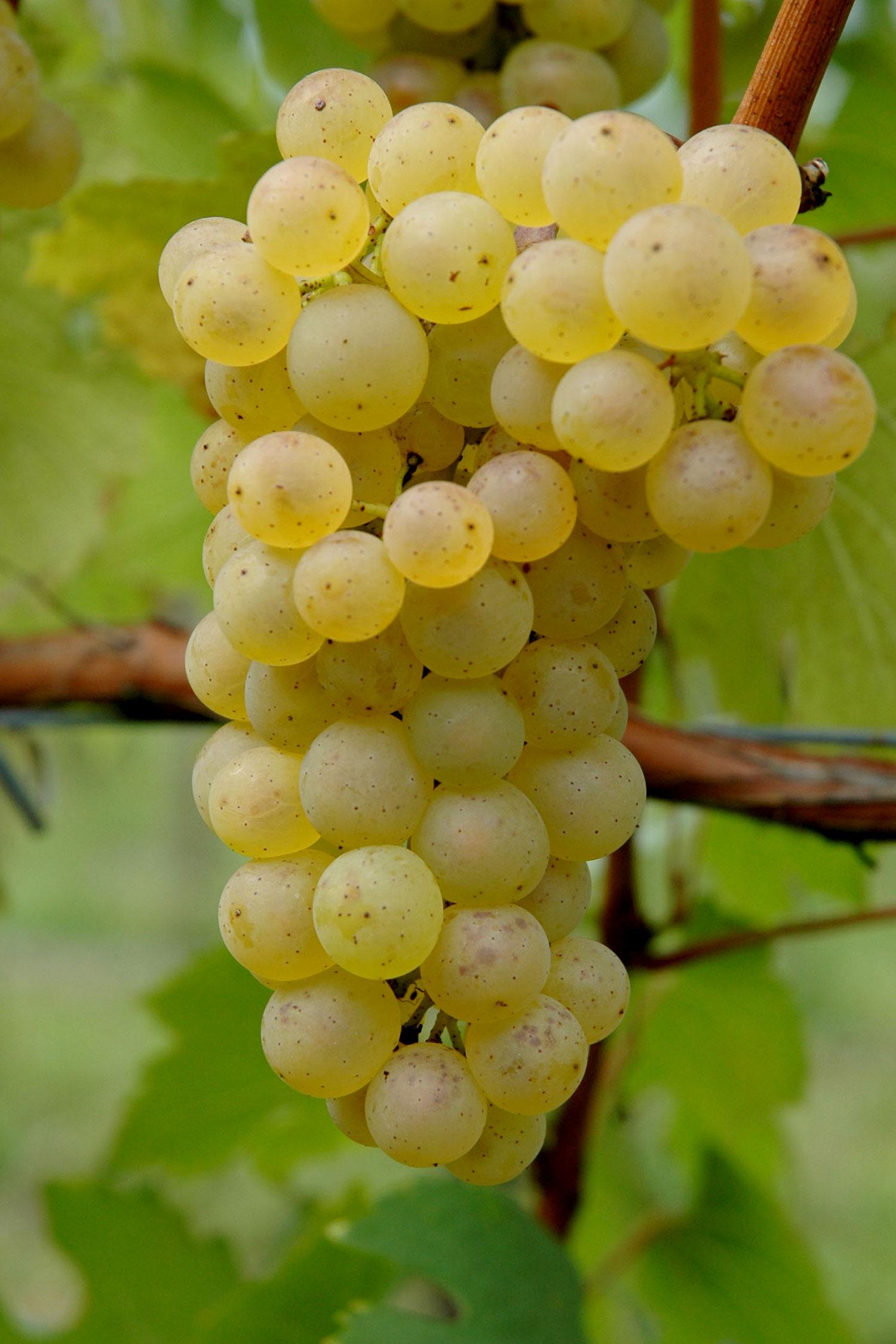 Grappolo di Chardonnay